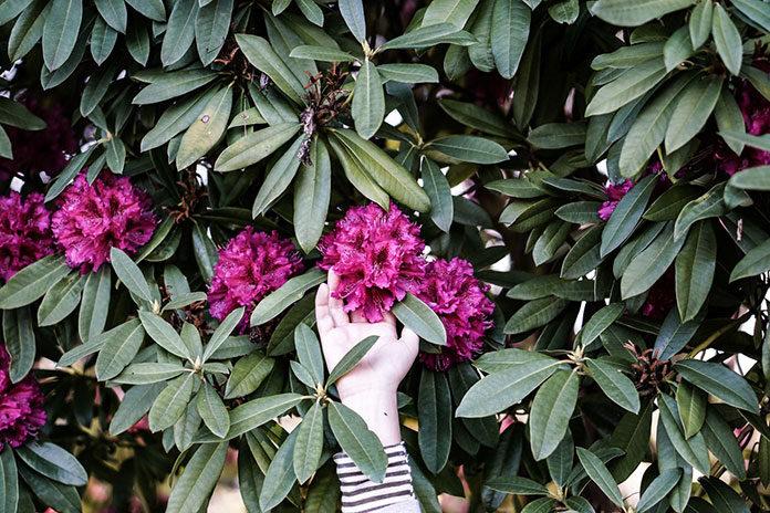 rododendron w ogrodzie